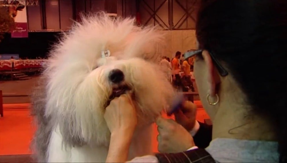 Frame 12.274888 de: Unos 5.000 perros tienen una cita este fin de semana en la mayor feria de mascotas del país