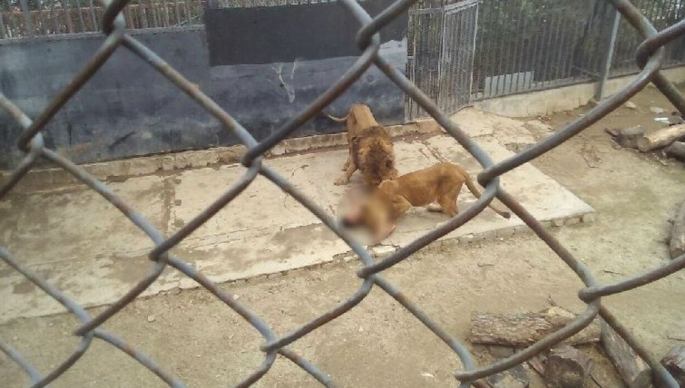 Los leones atacaron al joven que intentaba suicidarse