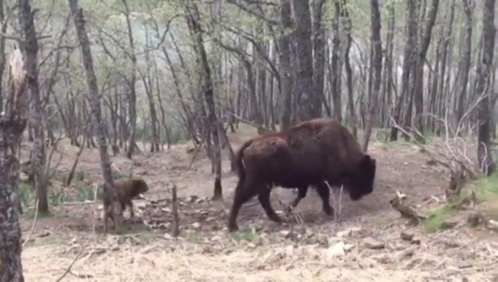 Bisonte en León