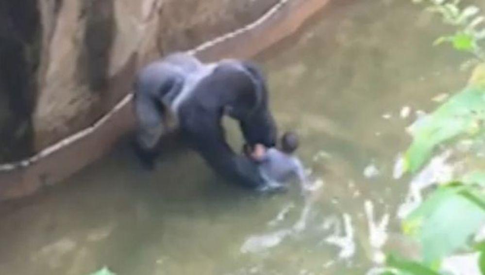 El gorila se acerca al niño en el foso