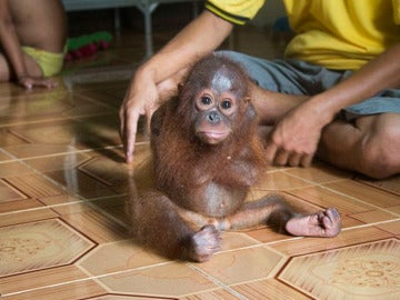 El bebé orangután Joss, traumatizado por su cambio de hábitat.