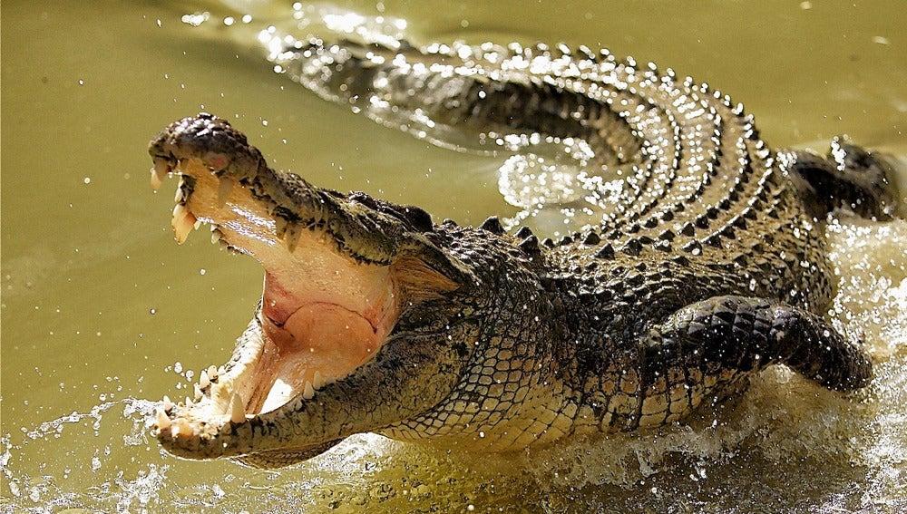 Imagen de un cocodrilo