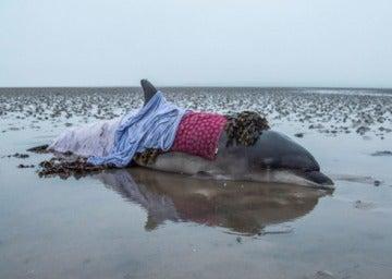 Imagen del delfín varado en la bahía de Nigg, que fue salvado por la conductora.