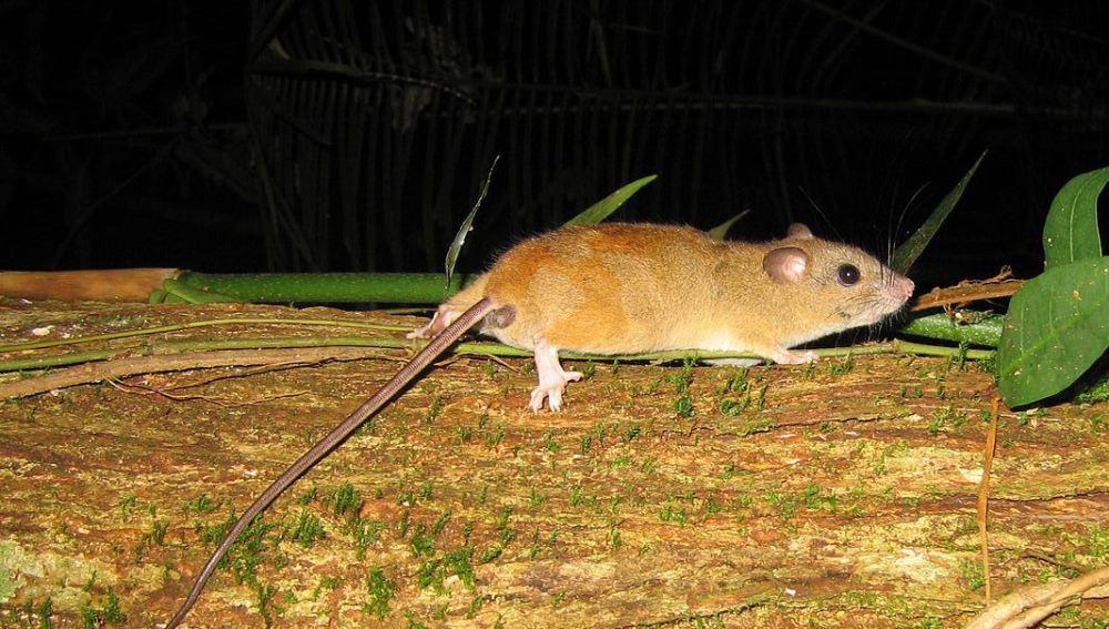 El roedor extinguido 'Melomys rubicola'
