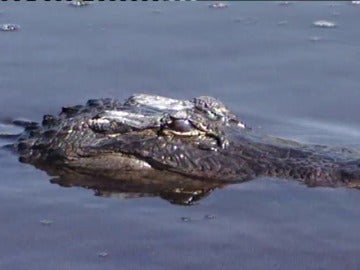 Frame 47.98119 de: Buscan a un niño de dos años que fue arrastrado a una laguna por un caimán en Florida