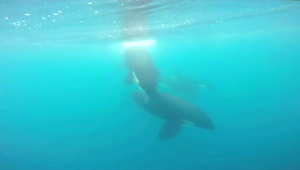Frame 60.438221 de: Una familia de orcas de paseo en aguas del Cantabrio