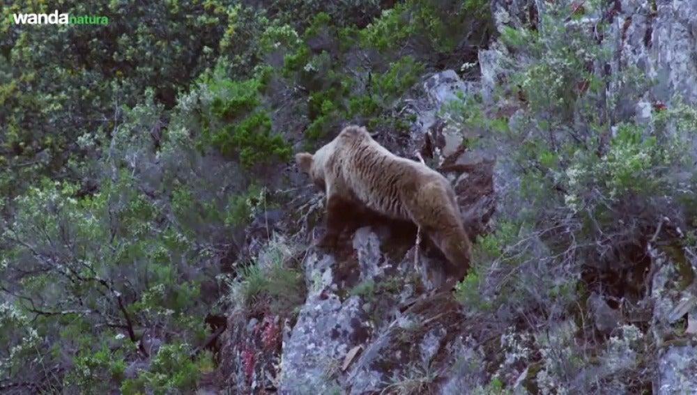 "Frame 16.588629 de: ""Cantábrico: los dominios del oso pardo""."
