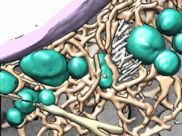 Interior de célula sana