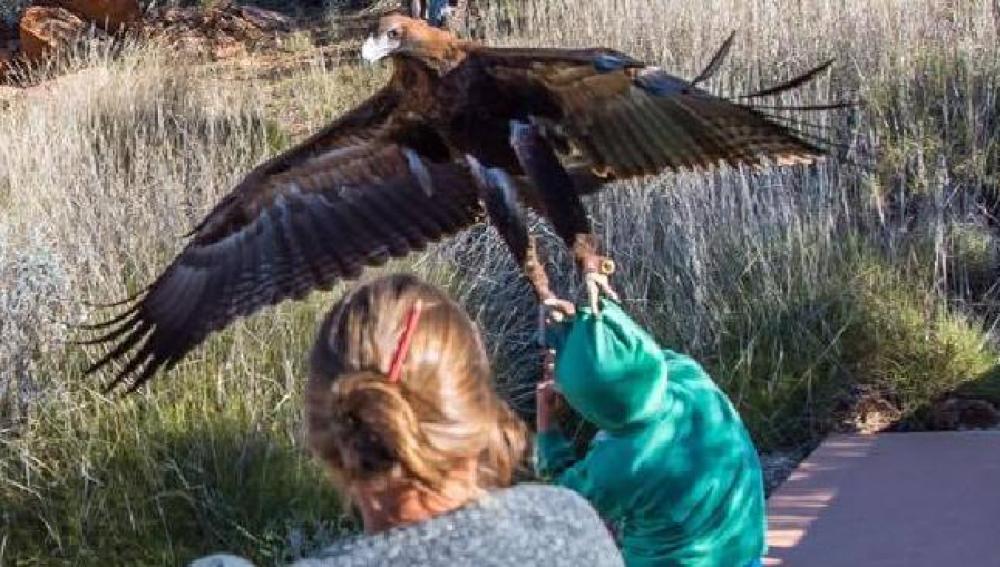 Un águila a punto de capturar a un joven en un espectáculo de aves rapaces.