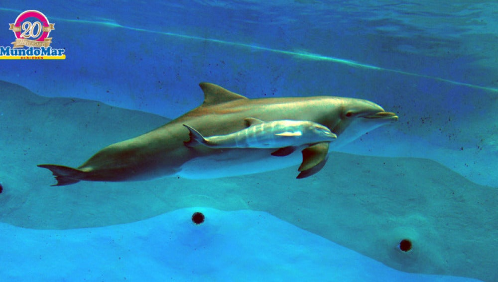 Aqua y su cría nadando