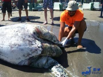 El cadáver de la tortuga en la playa de Aguadulce examinado por un trabajador de Equinac