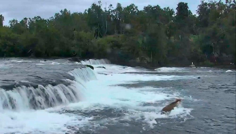 Una osa rescata a sus oseznos de la corriente de un río en Alaska