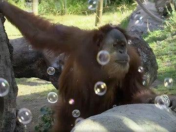 Orangután de San Diego