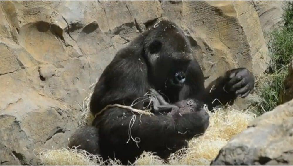 Nalani, la gorila que da a luz a Ebo, la primera cría de origen valenciano.