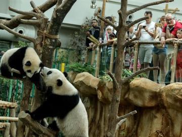 El pequeño panda Nuan Nuan juega con su madre Liang Liang durante las celebraciones por el décimo aniversario de los progenitores.