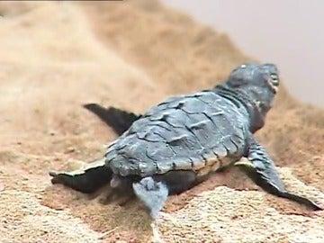 Frame 0.675645 de: Nacen las primeras 3 tortugas bobas de los huevos encontrados en una playa de Valencia
