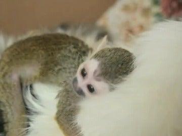 Una gata de 16 años ha adoptado a un pequeño mono ardilla rechazado por su madre.