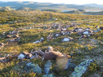 Una tormenta eléctrica ha causado la muerte a 323 renos en el parque natural de Hardangervidda, al sur de Noruega