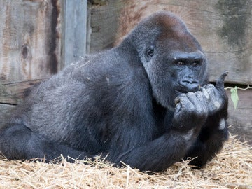 Gorila en el zoológico de Bristol