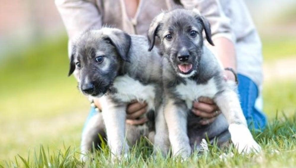 Dos cachorros de perro - Imagen de archivo