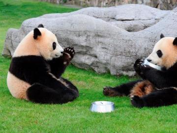 Los panda gigantes Aihin (d) y Meihin celebran su cumpleaños con una comida especial en el parque de Shirahama Adventure World (Japón).