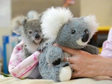 Debido a la  ausencia  de su madre, el pequeño koala abraza a un peluche para llenar su soledad