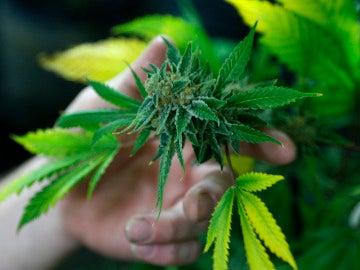 Los diputados del Parlamento neerlandés apoyan un proyecto legislativo para el cultivo del Cannabis