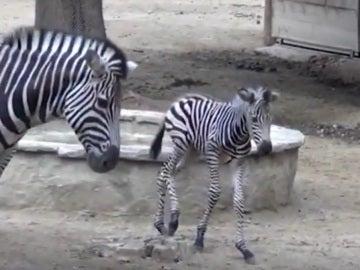 Nacen una cría de cebra y dos monos araña en el Zoo de Barcelona