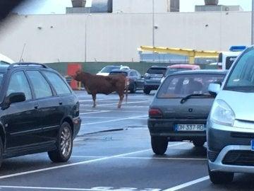 Vaca de 500 kilos en el parking de Nissan