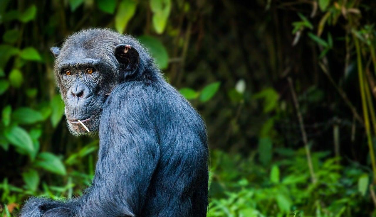 Chimpancé en la selva