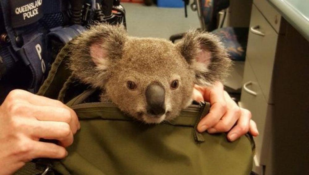 El koala ha sido bautizado como Alfredo