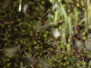 Frame 17.997112 de: La cosecha del olivar superará el millón y medio de toneladas