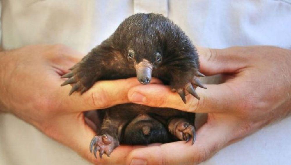 Oso hormiguero nacido en Australia