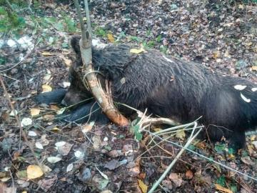 Oso pardo hembra aparecida muerta en León