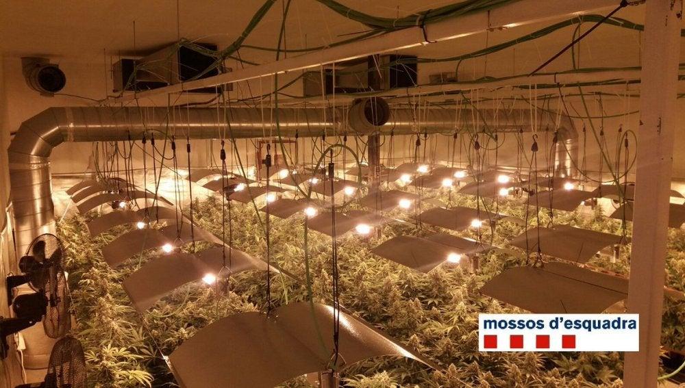Plantación de marihuana