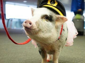 La cerdita LiLou, que ayuda a los pasajeros del aeropuerto de San Francisco