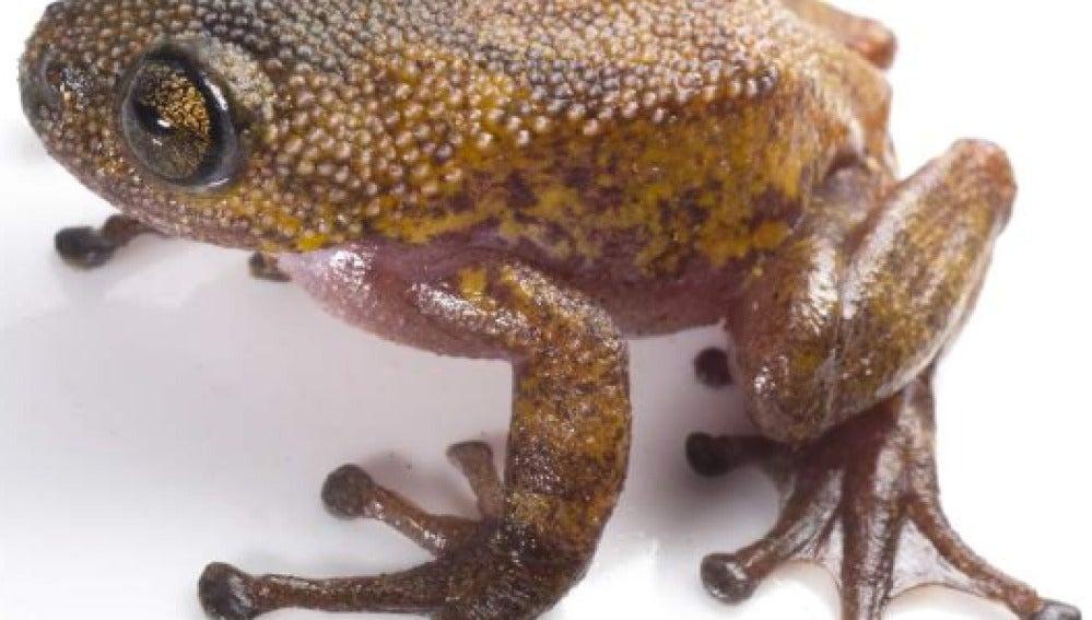 Rana espinosa que cambia de color
