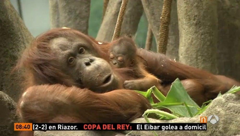 Frame 4.211666 de: orangutan