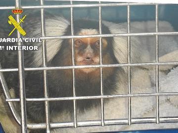 La Guardia Civil busca 42 monos tití por el riesgo de que tengan el VIH