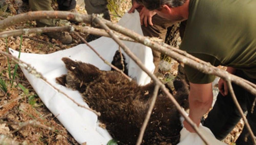 Momento en el que transportan a un oso pardo. Imagen de archivo.