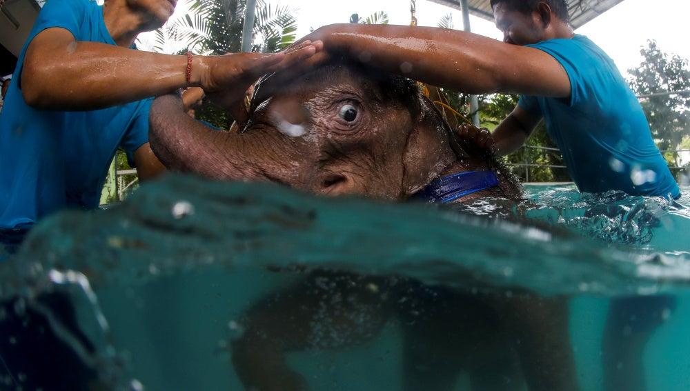 El elefante durante la rehabilitación