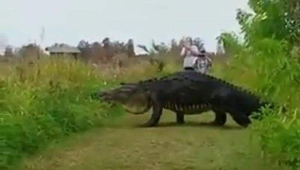 El cocodrilo cruzando en Parque Natural de Florida