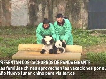 Presentan dos cachorros de panda gigante en China