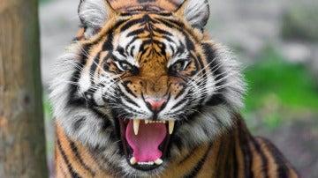 Imagen de archivo de un tigre