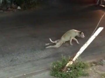 El perro fingiendo no poder andar