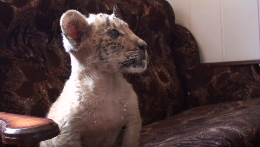 Zar nace del cruce de una tigresa y un león