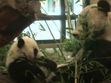 Frame 12.385698 de: Los osos panda mellizos, nacidos en el zoo de Viena, cumplen medio año