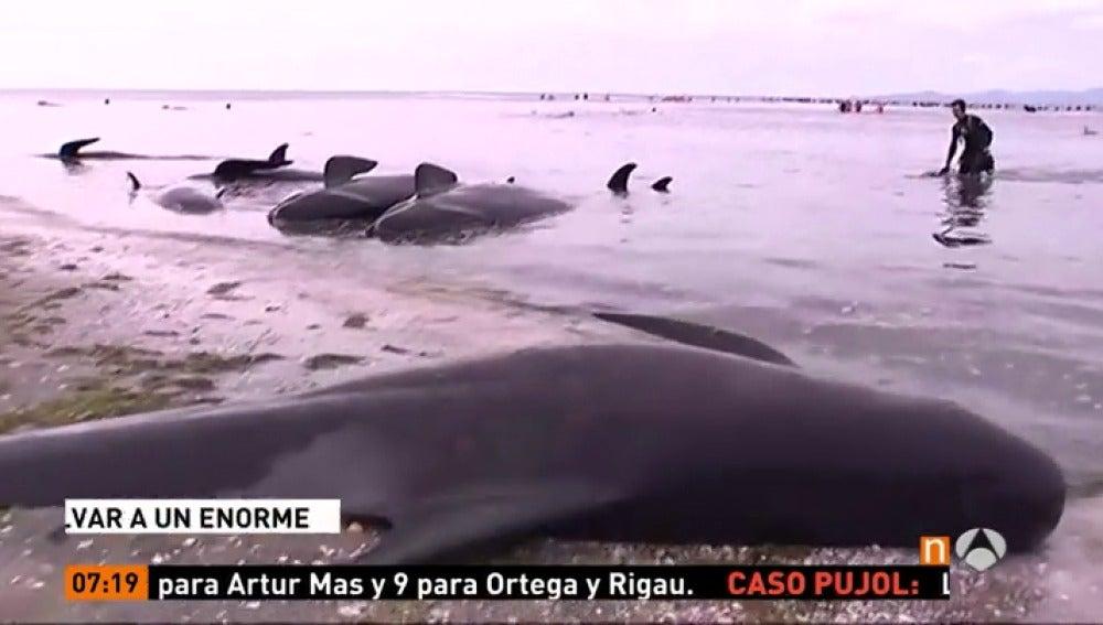 Frame 38.608888 de: Intentan salvar desesperadamente a decenas de ballenas varadas en Nueva Zelanda que están entre otras 300 ya muertas