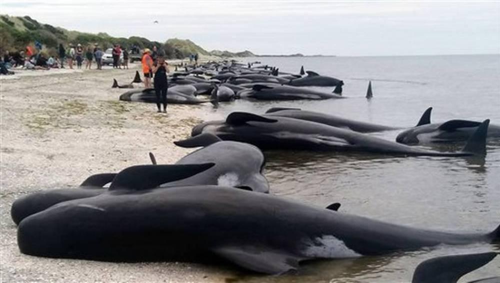 Más de 400 ballenas piloto encallaron en una zona arenosa conocida como Farewell Spit