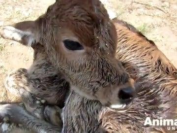 Frame 55.55281 de: El rescate de Dil, un ternero recién nacido abandonado en un caminal sin comida